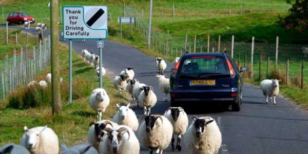 sheep_uk